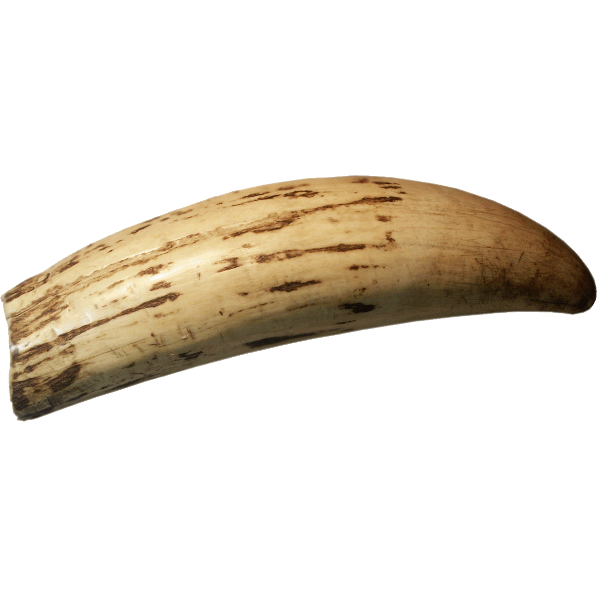Fiji Islands, Whale Tooth Money Tambua (obverse)