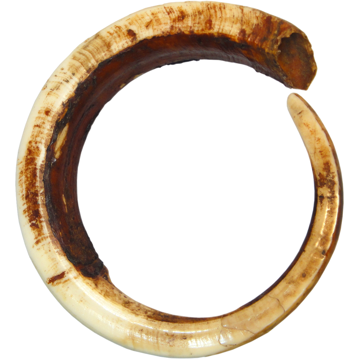 Papua New Guinea, North-East Coast, Full Circle Boar Tusk (restored) (obverse)