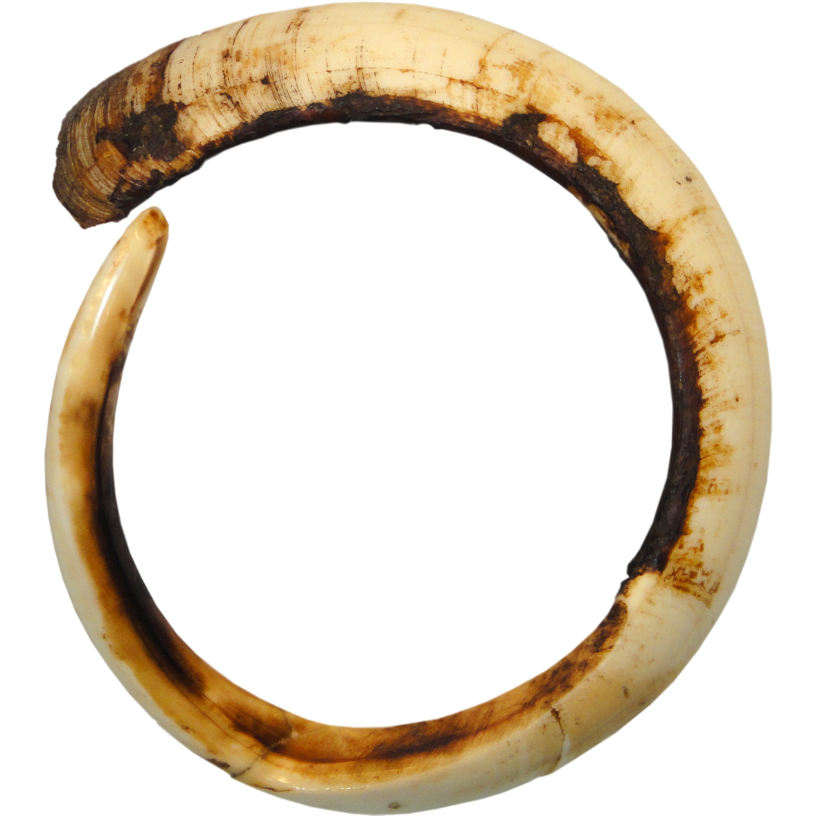 Papua New Guinea, North-East Coast, Full Circle Boar Tusk (restored) (reverse)