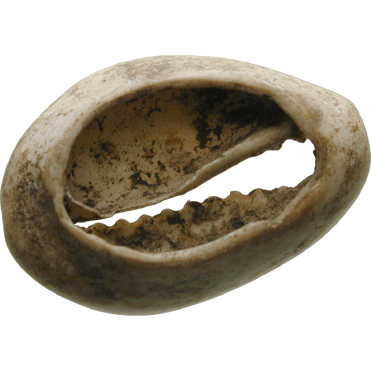 Africa, Cowries (Cypraea moneta and Cypraea annulus) in a Clay Pot (reverse)